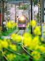桜トンネルを走る嵐電