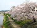 高野川の桜並木