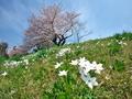 ハナニラ咲く春の土手@出町柳
