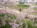 花見散歩@賀茂川