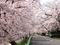 桜のトンネル@上賀茂