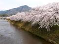 鷺も見上げる桜と比叡山@高野川