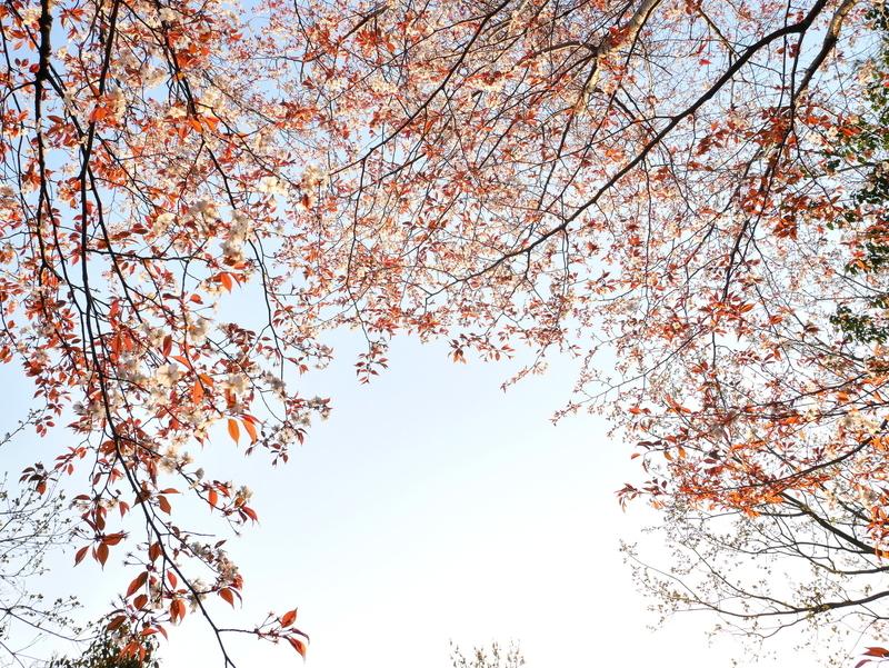 山桜@東山