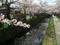 桜咲く哲学の道