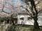 満開の桜の木の下で@哲学の道