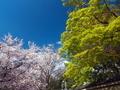 桜と青カエデ@哲学の道