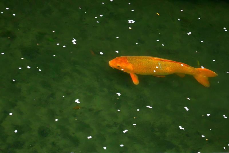 桜と泳ぐ@哲学の道