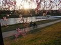 賀茂川半木の紅枝垂れ桜
