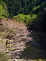 山峡に咲く山桜@比叡山