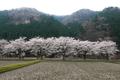 朽木の桜並木