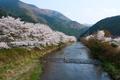 大原高野川沿いの桜並木
