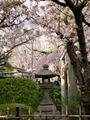 雨宝院の桜2