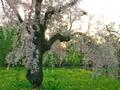 京都御苑の枝垂れ桜
