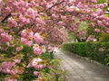 八重桜のトンネル@本満寺