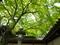 青楓の天井@今宮神社
