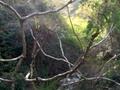 タラの芽がいっぱい