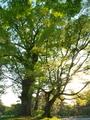 イチョウ巨樹@京都御苑