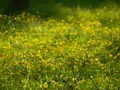 黄色の花園@京都御苑