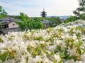 ツツジ咲く八坂の塔のある風景
