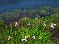 深泥池のカキツバタ2