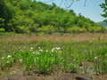 カキツバタ咲く深泥池