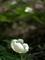 白く浮かぶヤマシャクヤク@京都北山