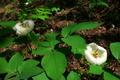 林床に群れ咲くヤマシャクヤク@京都北山
