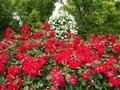バラ園3@京都府立植物園