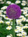 紫の鞠@京都府立植物園