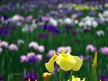 黄色のハナショウブ@京都府立植物園