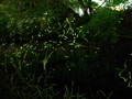 鴨川の蛍火