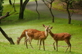 宝ヶ池の鹿2