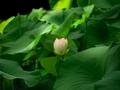 咲きだしました@京都府立植物園