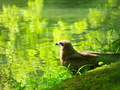 緑の中のトビ@京都府立植物園