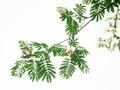 ねむの木3@京都府立植物園