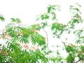 ねむの木4@京都府立植物園