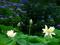 蓮と紫陽花@京都府立植物園