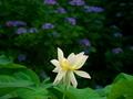 蓮と紫陽花2@京都府立植物園