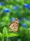ツマグロヒョウモンとアオバナ@京都府立植物園