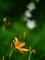 ヒオウギと白キキョウ@京都府立植物園