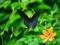 カラスアゲハとヒオウギ@京都府立植物園