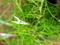 変化朝顔-黄抱細糸柳葉白細切采咲