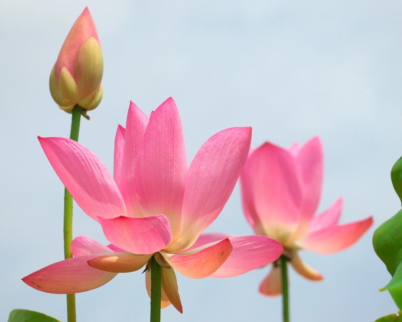 空に向かて咲く@京都府立植物園