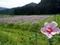 久多の北山友禅菊(背景)