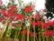 上を向いて咲こう@京都府立植物園