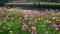 コスモス畑@京都府立植物園