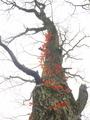 裸木を飾る紅@八丁平