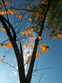 柿の紅葉@瓜生山