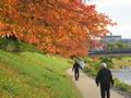 秋の桜並木@高野川