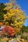 花脊八桝春日神社の銀杏